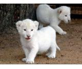 Cute And Adorable White Lion,White Tiger,Cheetah,White Lion Cubs And Sheeps For Sale