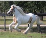 WOAW! Gentle and Classic Gypsy Vanner Gelding Available.