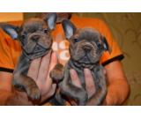 Home Trained French Bulldogs Available Now