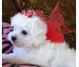 Beautiful Tea-cup Maltese Pupp's