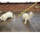 Gorgeous Tica-ragdoll Kittens All Reserved