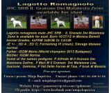 Lagotto Romagnolo male available for stud