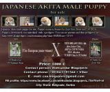 Japanese Akita male puppy for sale