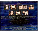 Miniature White schnauzer puppies for sale