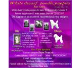 White dwarf poodle puppies for sale