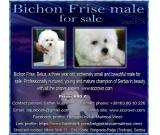Bichon Frise male for sale