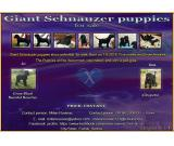 Giant Schnauzer puppies show potential  for sale