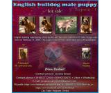 English Bulldog male puppy for sale