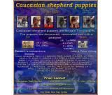 Caucasian shepherd puppies for sale