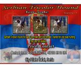 Serbian Tricolor Hound  for sale
