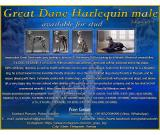 Great Dane Harlequin male