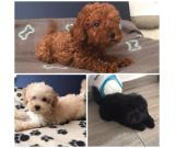 Toy and mini poodles puppies