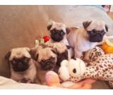 Pug, top puppies