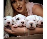 Dogo Argentino top puppies