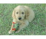 glamorous male and female Litter Golden Retriever puppies