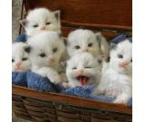 CFA Dollface Teacup Persian Kittens for Sale.