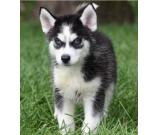 beautiful stunning Siberian Husky puppies for sale