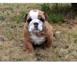 akc Reg English Bulldog puppies