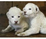 Cheetah, White tiger and lion cubs for sale