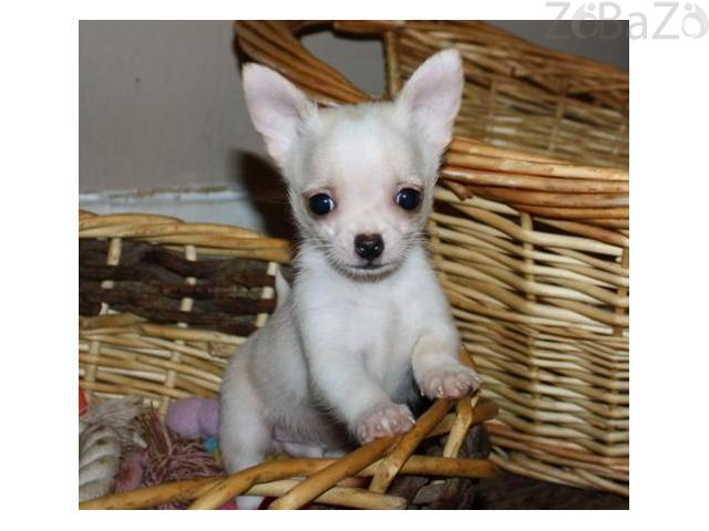 Pure White Family Chihuahua Puppies Ready For Sale Free