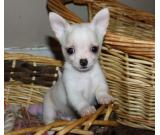pure white family chihuahua puppies ready for sale