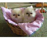 Adorable male and female Persian kittens for adoption