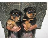 Male and Female Rottweiler for Free adoption