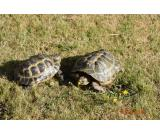 Pair Of Horsefield Tortoises / Male And Female