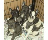 5 french bulldog puppies, three girls and two boy.