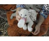 TAMED WHITE TIGER AND BABY CUTE LION CUBS FOR SALE