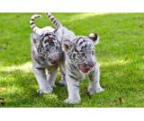 TIGER CUBS AND BABY LION CUBS AVAILABLE
