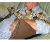 Tamed Servals and Caracal kittens for sale