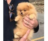 12weeks  Pomeranian puppies Available