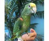 Medically fit weaned and  Tame parrots with medical guarantee for sale