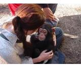 Adorable baby chimpanzees for sale
