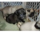 Cute White Pug Puppies- 12 Weeks Old
