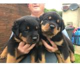 2 rottweiler puppies available on sale