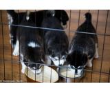pure breed siberian husky puppies for free adoption
