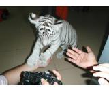 CUTE AND LOVELY WHITE TIGER CUBS AND SAVANNAH KITTENS FOR SALE