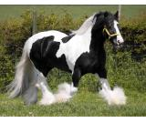 الغجر فانر الحصان لاعتماده Gypsy Vanner Horse For adoption