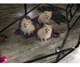 akc champion line and sired cream male pomeranian puppies