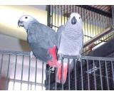 TWIN AFRICAN GREY PARROT FOR SELL