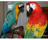 Acquire exotic pets online - Parrots and kittens: Buy now   whatsapp.+1 (925)471-5330