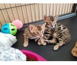 Male and Female Bengal kittens For adoption