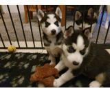 siberian husky dog for adoption