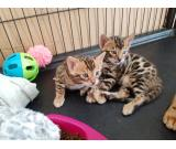male and female Bengal kittens available