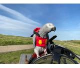 Jenny African Grey parrots for sale