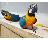 Blue & Gold Macaw parrots available