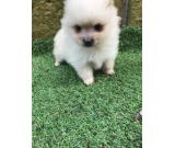 Breathtaking Teacup Pomeranian Puppies