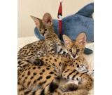 Healthy Savannah Kittens For Rehoming